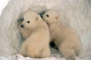 polarcubs.jpg
